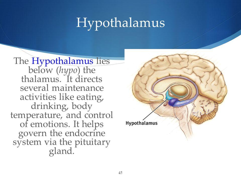 Hypothalamus The Hypothalamus lies below (hypo) the thalamus.