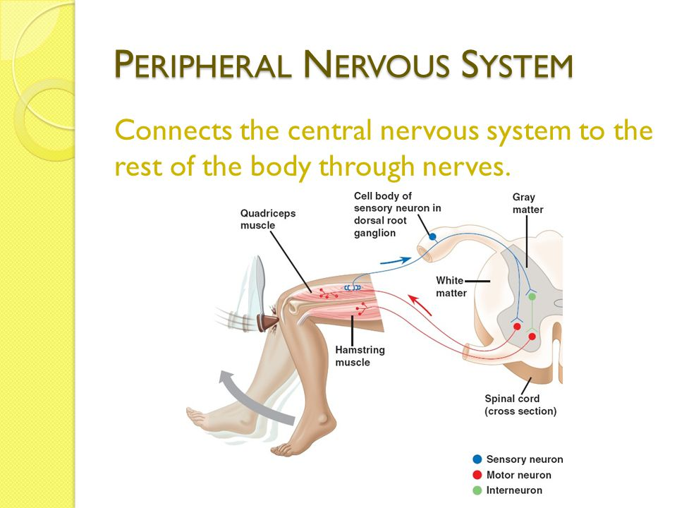 P ERIPHERAL N ERVOUS S YSTEM Connects the central nervous system to the rest of the body through nerves.