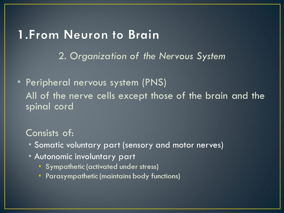 2. Organization of the Nervous System Peripheral nervous system (PNS) All of the nerve cells except those of the brain and the spinal cord Consists of