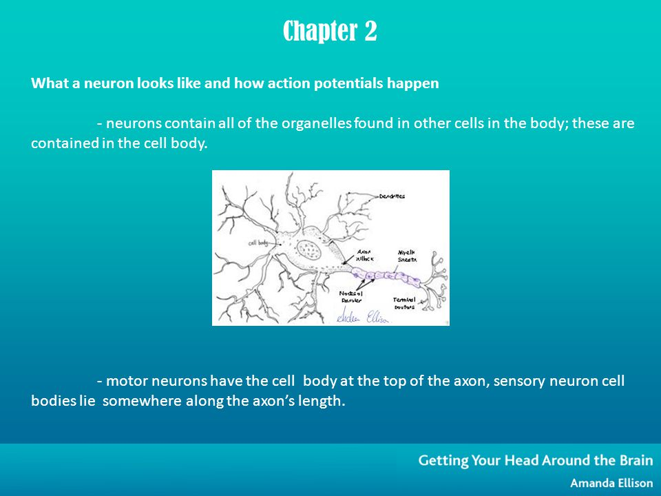 What a neuron looks like and how action potentials happen - neurons contain all of the organelles found in other cells in the body; these are contained in the cell body.