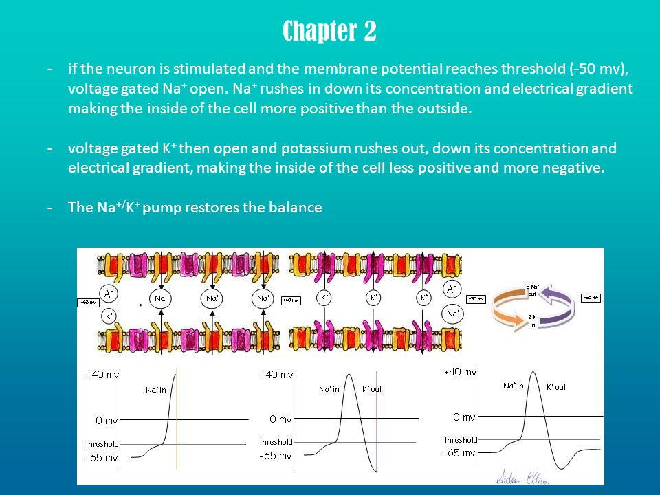 -if the neuron is stimulated and the membrane potential reaches threshold (-50 mv), voltage gated Na + open.