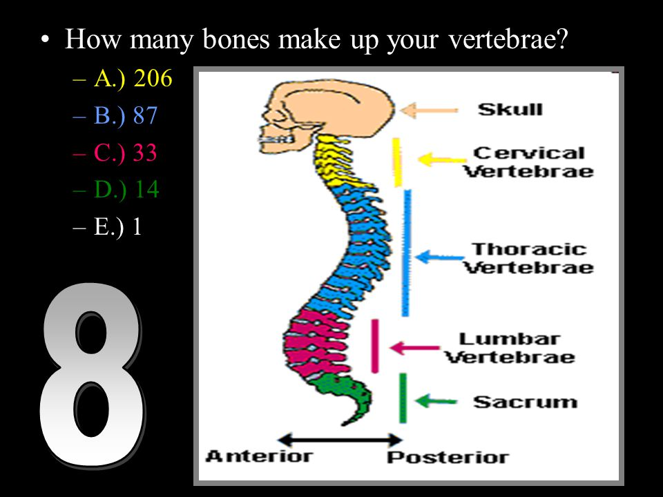 How many bones make up your vertebrae –A.) 206 –B.) 87 –C.) 33 –D.) 14 –E.) 1