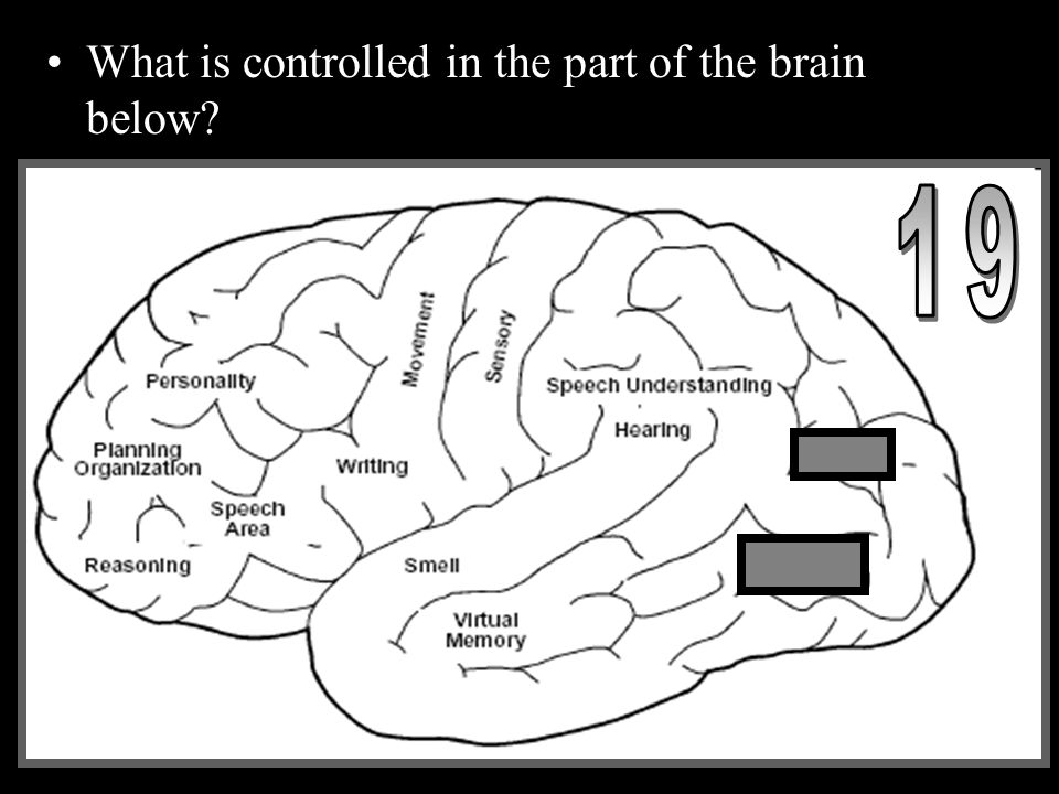 What is controlled in the part of the brain below