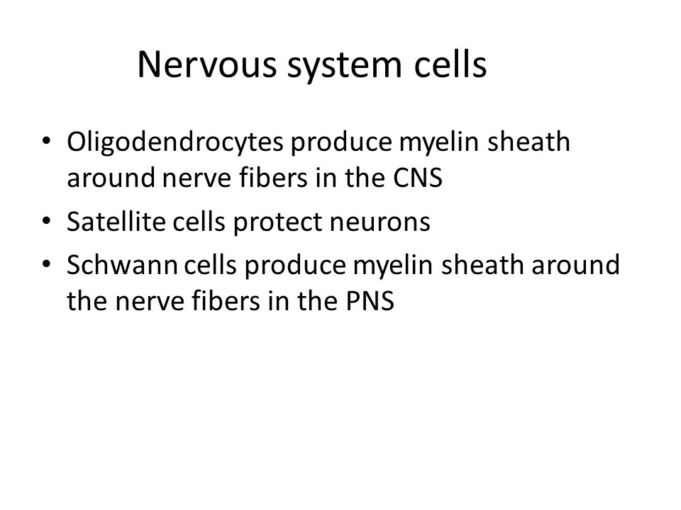 Nervous system cells Oligodendrocytes produce myelin sheath around nerve fibers in the CNS Satellite cells protect neurons Schwann cells produce myelin sheath around the nerve fibers in the PNS