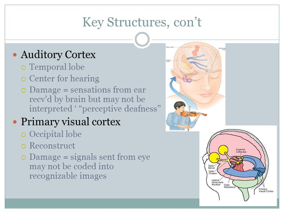 Key Structures, con't Auditory Cortex  Temporal lobe  Center for hearing  Damage = sensations from ear recv'd by brain but may not be interpreted ' perceptive deafness Primary visual cortex  Occipital lobe  Reconstruct  Damage = signals sent from eye may not be coded into recognizable images
