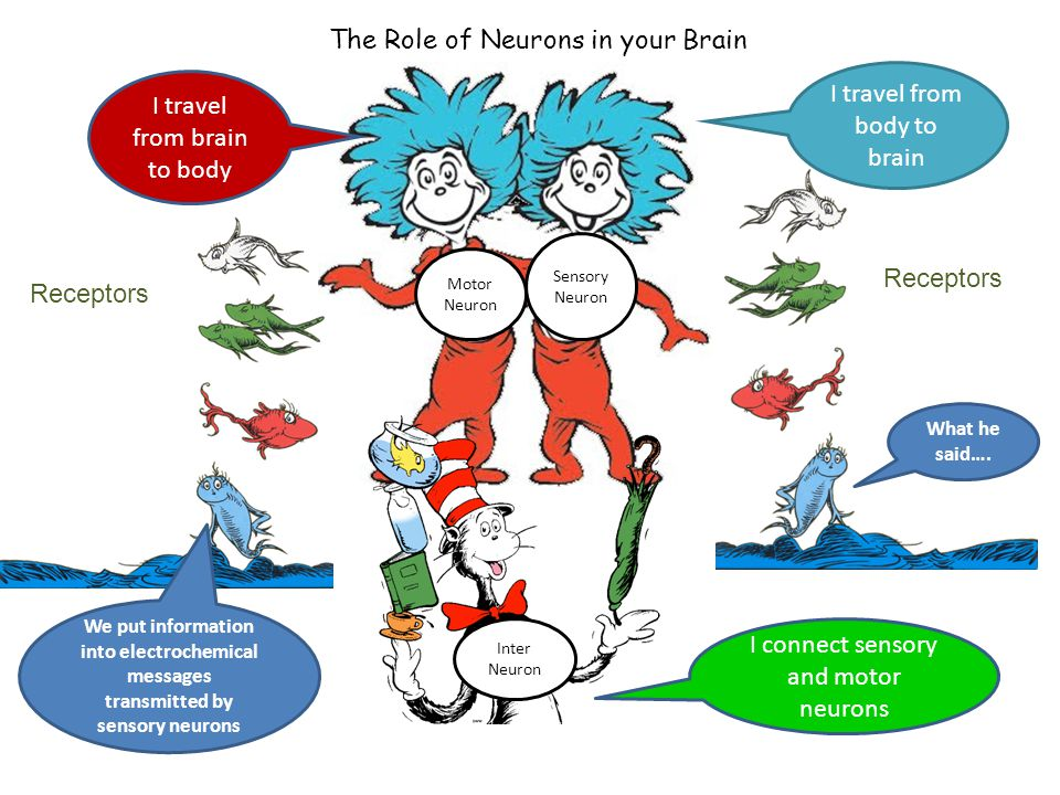 Sensory Neurons: Travel from body to brain Motor Neurons: Travel from brain to body Interneurons: Connect sensory and motor neurons Receptors; Put information into electrical/chemical messages to be transmitted by sensory neurons