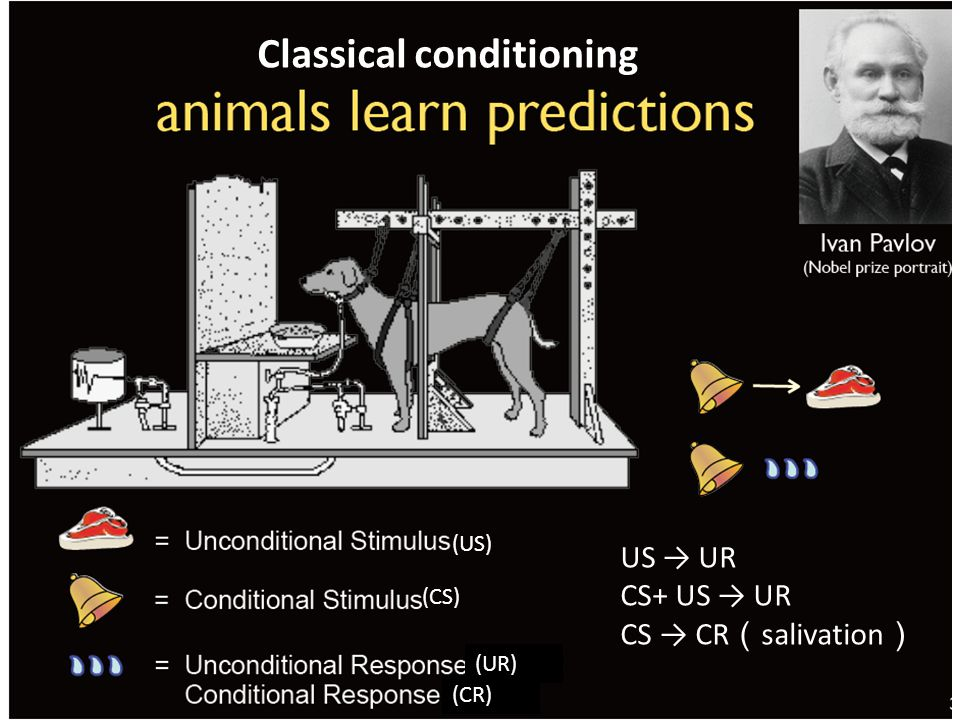 US → UR CS+ US → UR CS → CR ( salivation ) (US) (CS) (UR) (CR) Classical conditioning