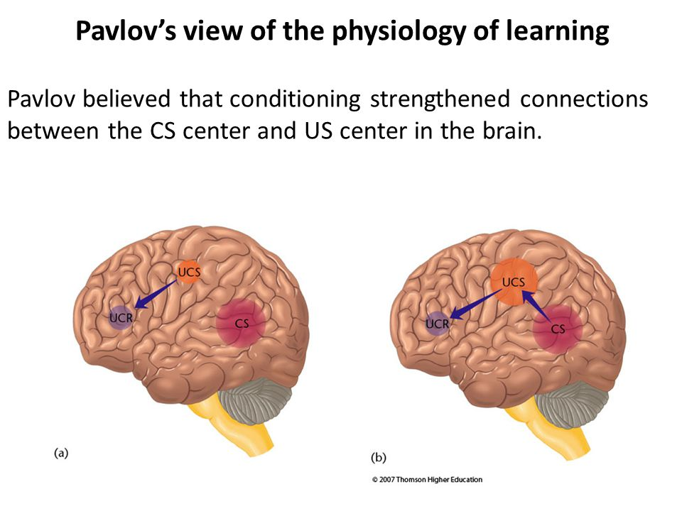 Pavlov believed that conditioning strengthened connections between the CS center and US center in the brain. Pavlov's view of the physiology of learni