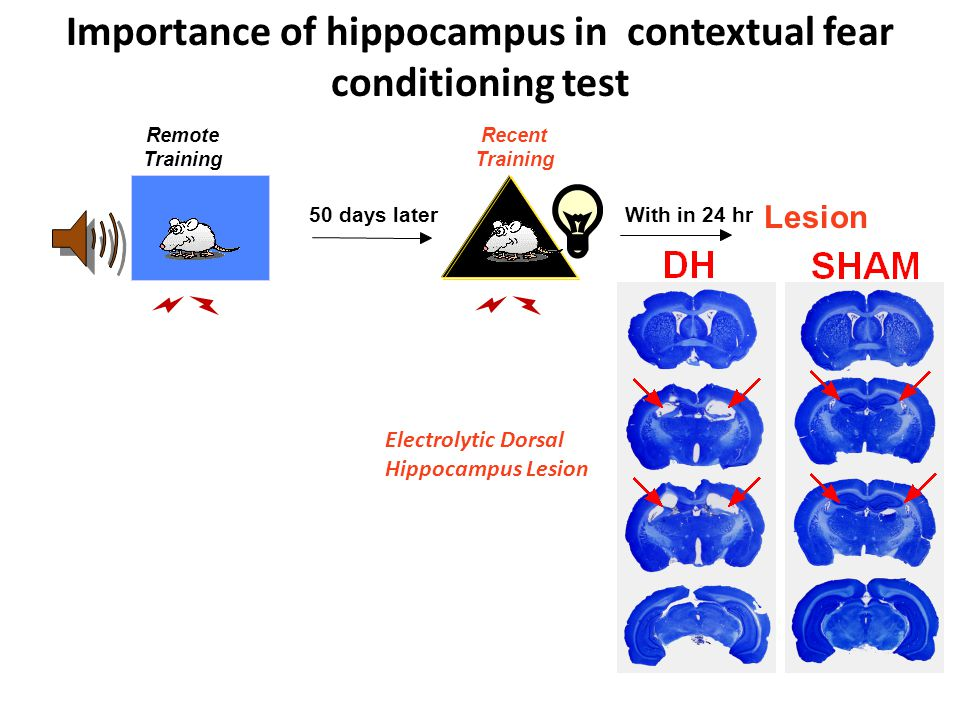 Lesion Electrolytic Dorsal Hippocampus Lesion With in 24 hr Importance of hippocampus in contextual fear conditioning test Remote Training Recent Training 50 days later