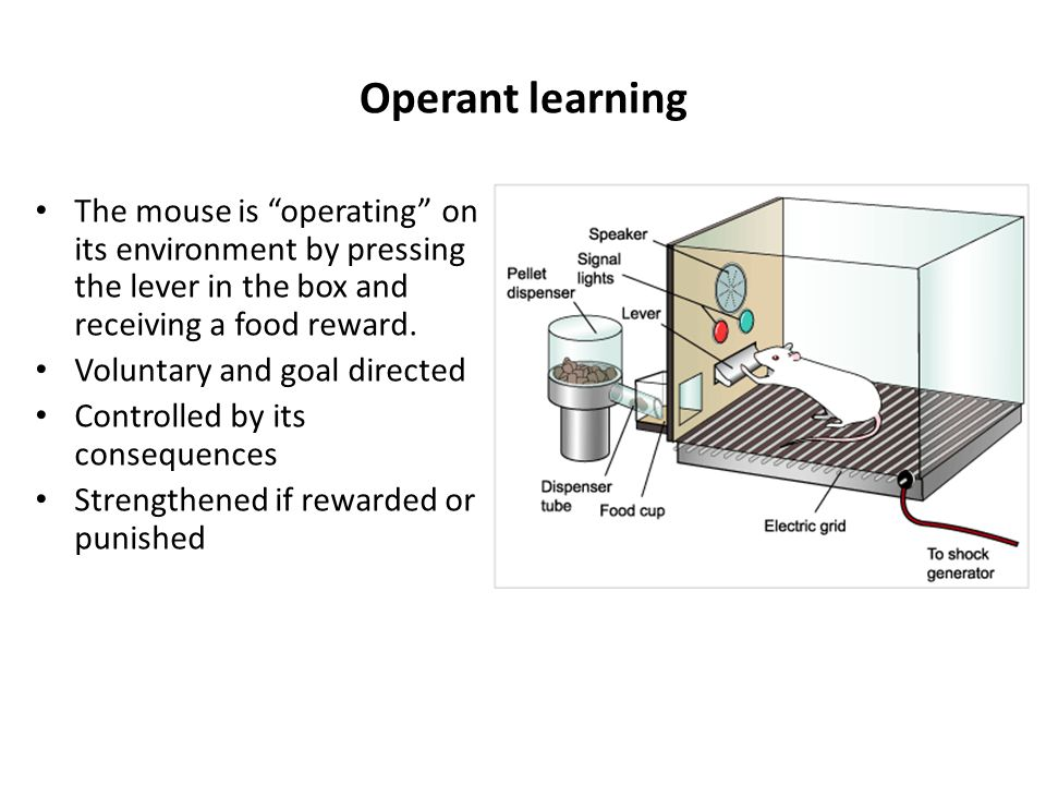 Operant learning The mouse is operating on its environment by pressing the lever in the box and receiving a food reward.