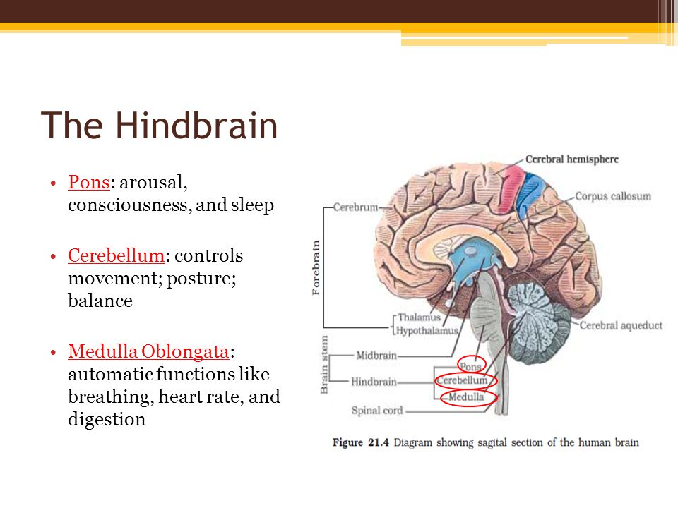 The Hindbrain Pons: arousal, consciousness, and sleep Cerebellum: controls movement; posture; balance Medulla Oblongata: automatic functions like breathing, heart rate, and digestion