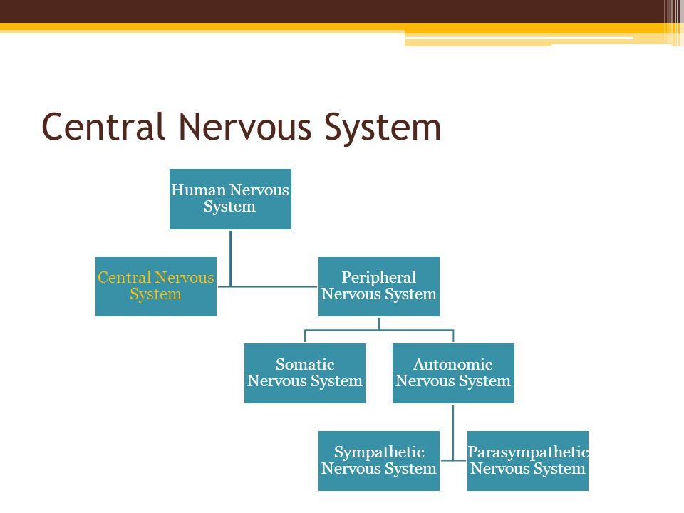 Central Nervous System Human Nervous System Central Nervous System Peripheral Nervous System Somatic Nervous System Autonomic Nervous System Sympathet