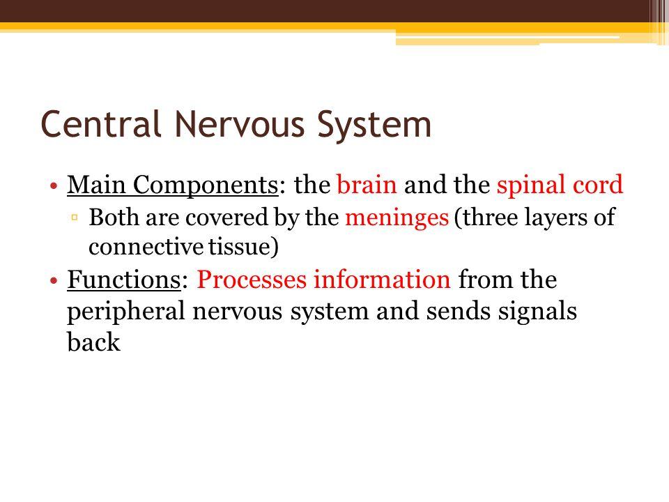 The Brain Forebrain Midbrain Hindbrain