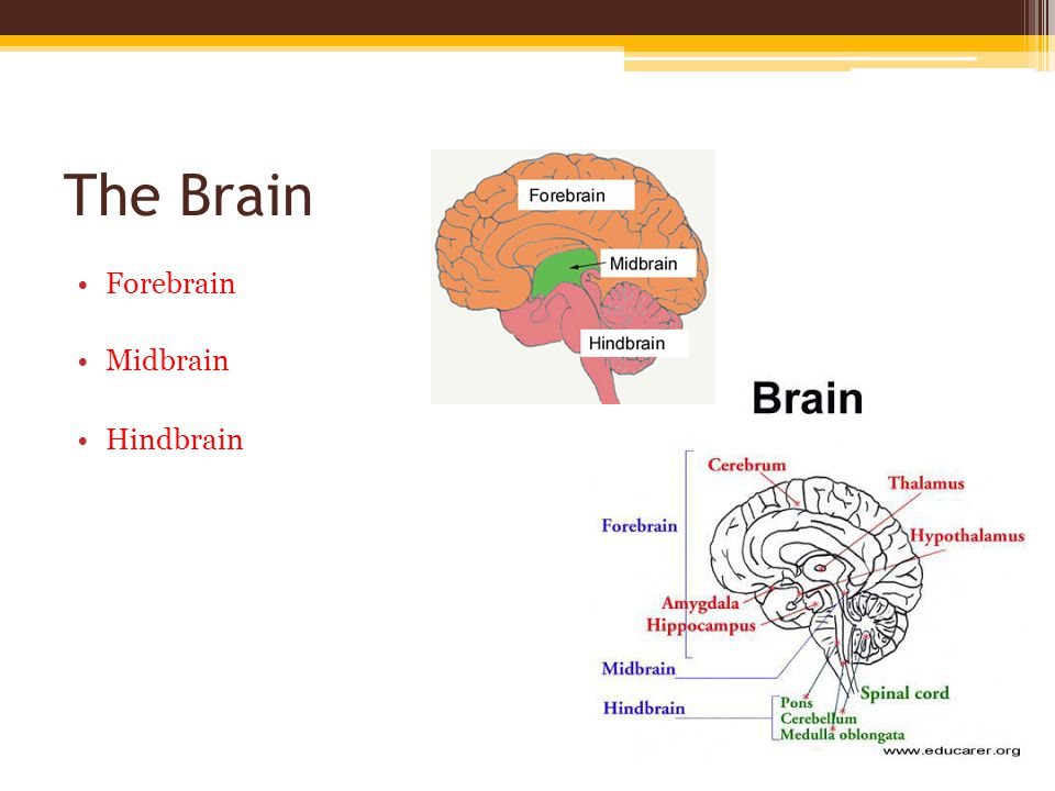The Brain Forebrain Midbrain Hindbrain