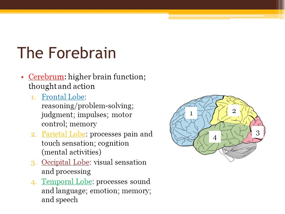 The Forebrain Thalamus: sends signals to other parts of the brain; motor control Hypothalamus: temperature; apetite; thirst; sleep Cerebral Cortex: grey matter ; covers the cerebrum and cerebellum; processing information Corpus Callosum: connects the two hemispheres (halves) of the brain