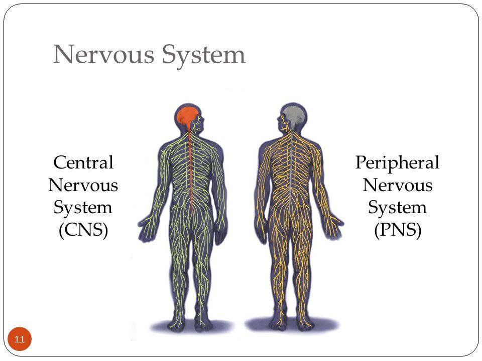 Nervous System 11 Central Nervous System (CNS) Peripheral Nervous System (PNS)