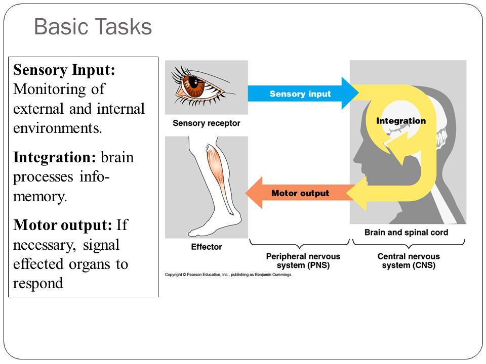Basic Tasks Sensory Input: Monitoring of external and internal environments.