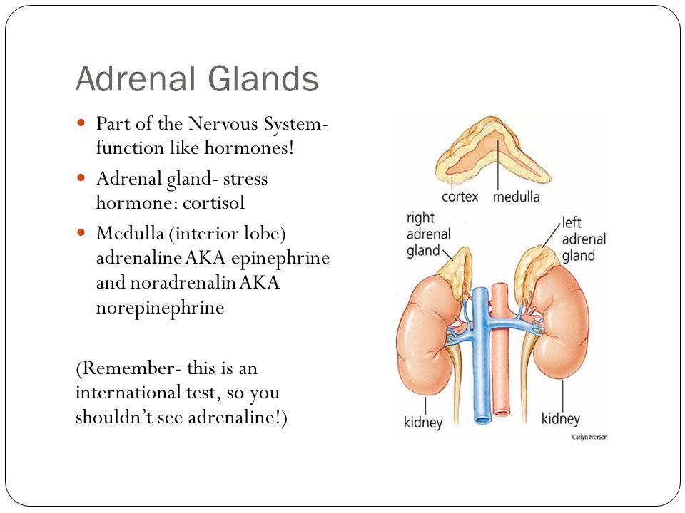 Adrenal Glands Part of the Nervous System- function like hormones.
