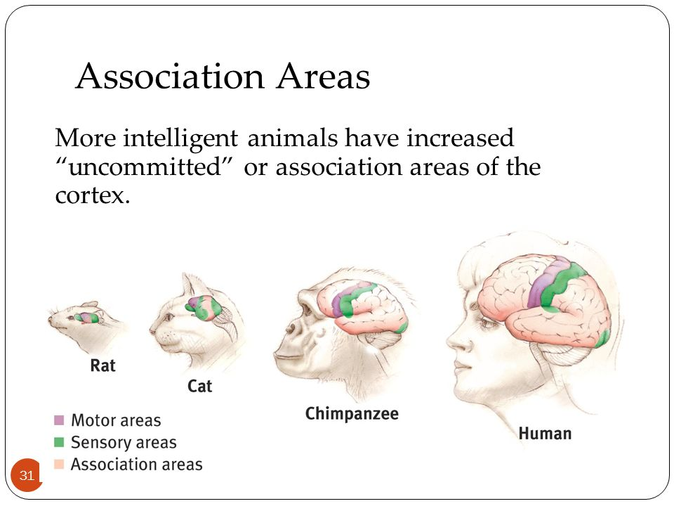 Association Areas 31 More intelligent animals have increased uncommitted or association areas of the cortex.