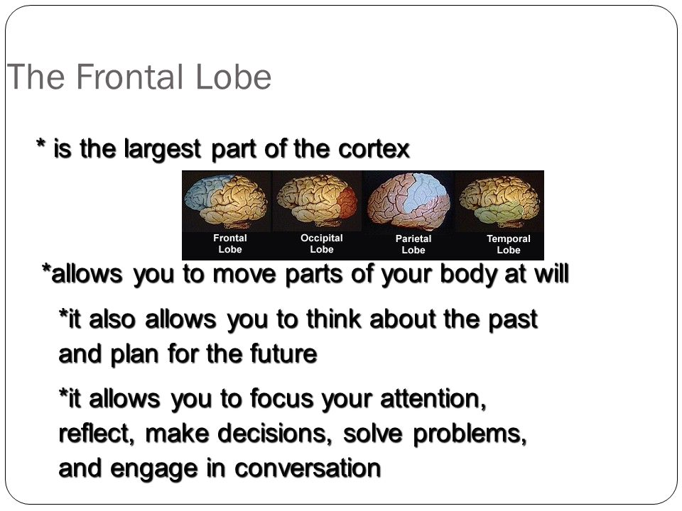 The Frontal Lobe *allows you to move parts of your body at will * is the largest part of the cortex *it also allows you to think about the past and plan for the future *it allows you to focus your attention, reflect, make decisions, solve problems, and engage in conversation