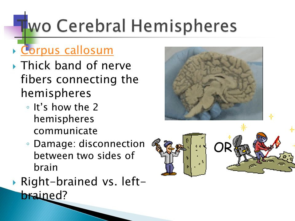  Corpus callosum Corpus callosum  Thick band of nerve fibers connecting the hemispheres ◦ It's how the 2 hemispheres communicate ◦ Damage: disconnection between two sides of brain  Right-brained vs.
