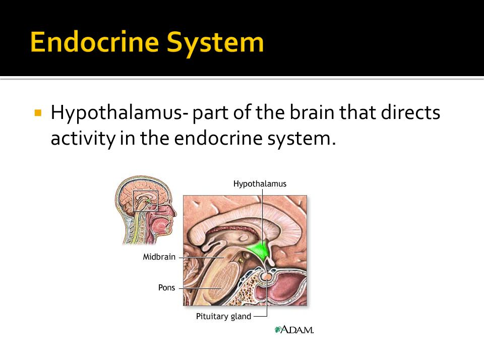  Hypothalamus- part of the brain that directs activity in the endocrine system.