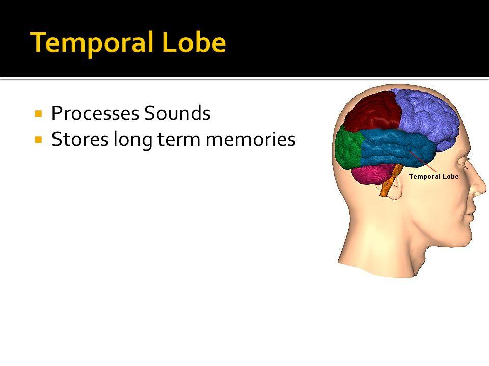  Processes Sounds  Stores long term memories