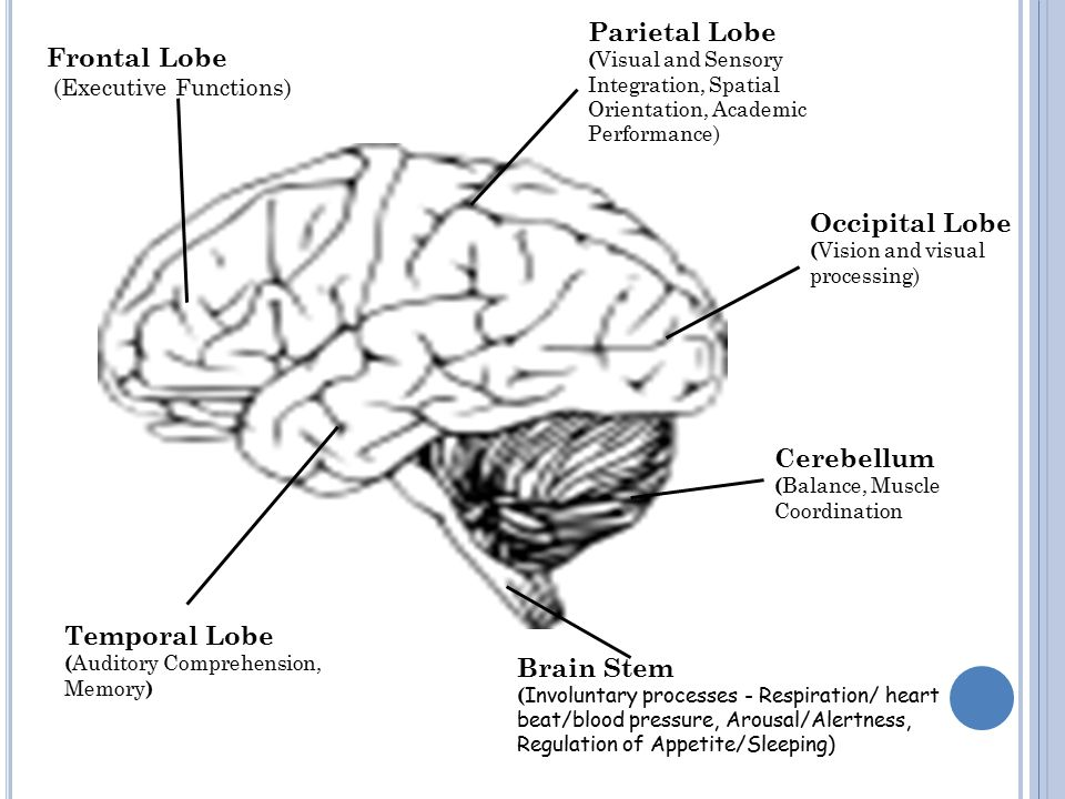 Brain Stem ( Involuntary processes - Respiration/ heart beat/blood pressure, Arousal/Alertness, Regulation of Appetite/Sleeping) Frontal Lobe (Executive Functions) Cerebellum ( Balance, Muscle Coordination Occipital Lobe ( Vision and visual processing) Parietal Lobe ( Visual and Sensory Integration, Spatial Orientation, Academic Performance) Temporal Lobe ( Auditory Comprehension, Memory )