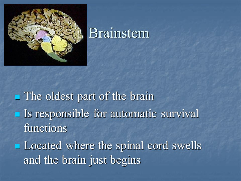 Brainstem The oldest part of the brain The oldest part of the brain Is responsible for automatic survival functions Is responsible for automatic survival functions Located where the spinal cord swells and the brain just begins Located where the spinal cord swells and the brain just begins