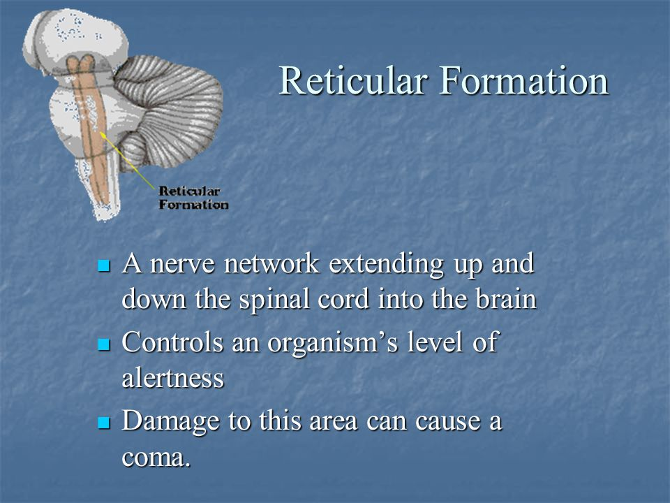 Reticular Formation A nerve network extending up and down the spinal cord into the brain A nerve network extending up and down the spinal cord into the brain Controls an organism's level of alertness Controls an organism's level of alertness Damage to this area can cause a coma.