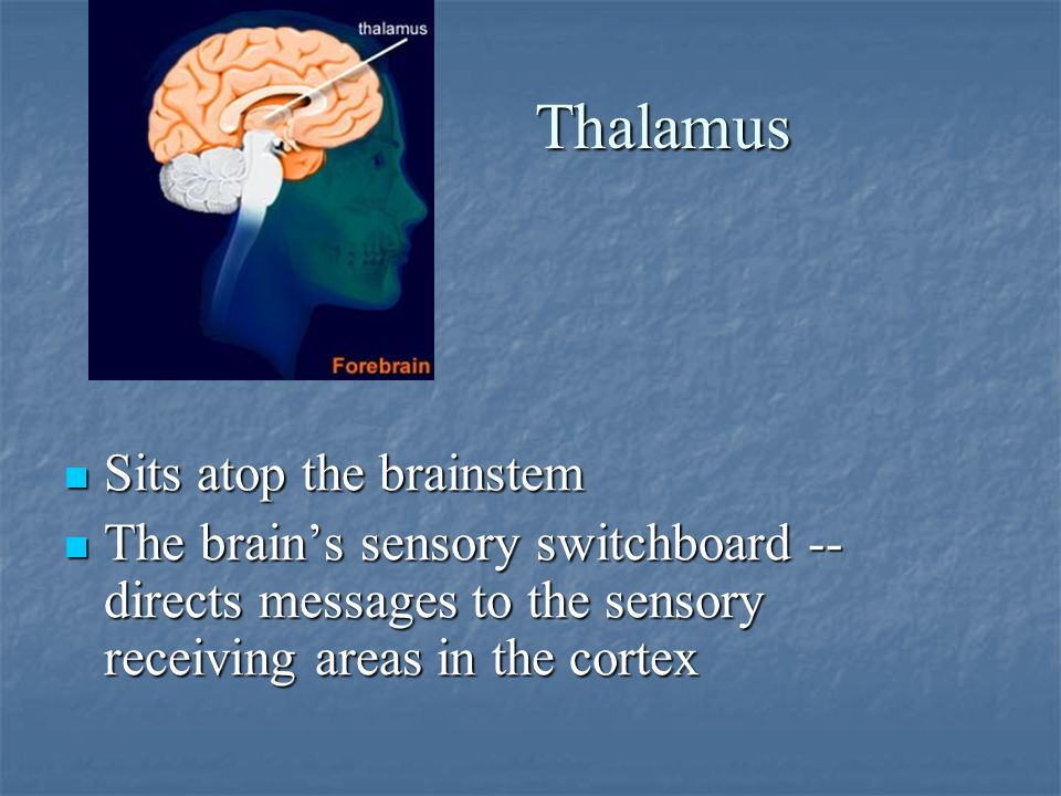 Thalamus Sits atop the brainstem Sits atop the brainstem The brain's sensory switchboard -- directs messages to the sensory receiving areas in the cortex The brain's sensory switchboard -- directs messages to the sensory receiving areas in the cortex