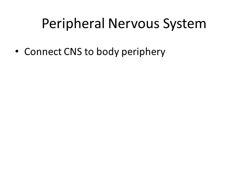 Peripheral Nervous System Connect CNS to body periphery