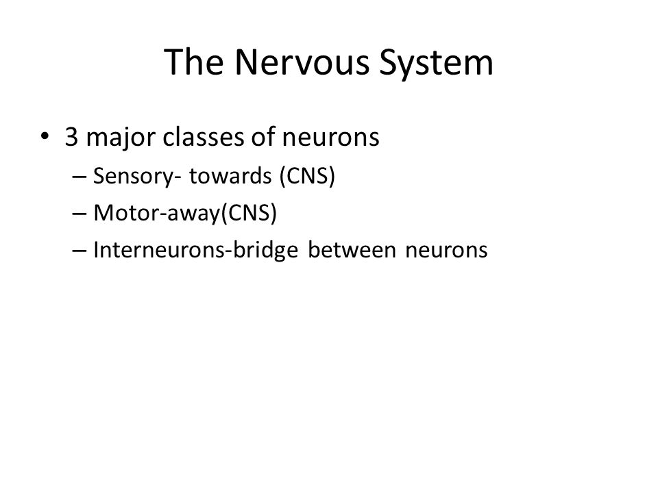 The Nervous System 3 major classes of neurons – Sensory- towards (CNS) – Motor-away(CNS) – Interneurons-bridge between neurons