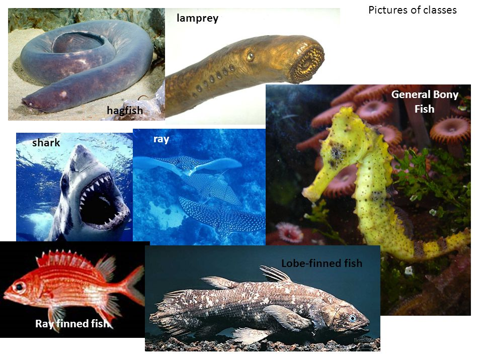 Pictures of classes hagfish lamprey shark ray General Bony Fish Ray finned fish Lobe-finned fish