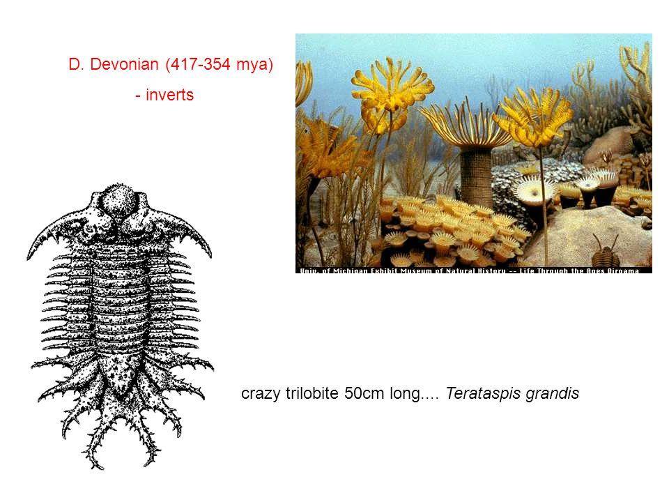 D. Devonian (417-354 mya) - inverts crazy trilobite 50cm long.... Terataspis grandis