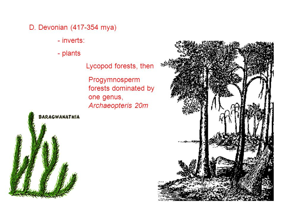 D. Devonian (417-354 mya) - inverts: - plants Lycopod forests, then Progymnosperm forests dominated by one genus, Archaeopteris 20m