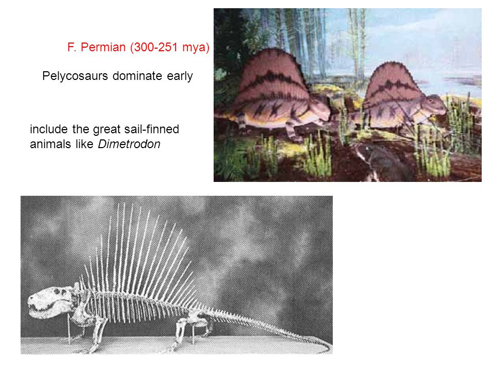 F. Permian (300-251 mya) Pelycosaurs dominate early include the great sail-finned animals like Dimetrodon