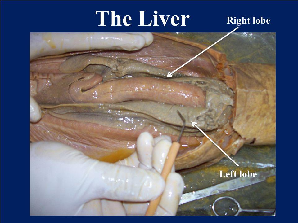 The Liver Left lobe Right lobe