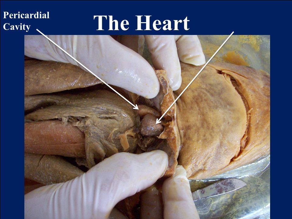 The Heart Pericardial Cavity