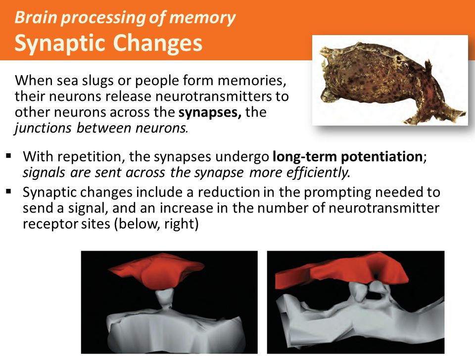 Brain processing of memory Synaptic Changes When sea slugs or people form memories, their neurons release neurotransmitters to other neurons across the synapses, the junctions between neurons.