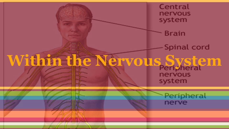 Within the Nervous System