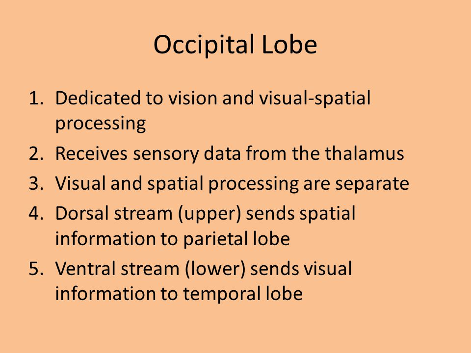 Occipital Lobe 1.Dedicated to vision and visual-spatial processing 2.Receives sensory data from the thalamus 3.Visual and spatial processing are separ