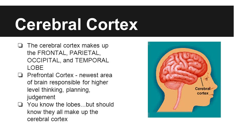 Cerebral Cortex ❏ The cerebral cortex makes up the FRONTAL, PARIETAL, OCCIPITAL, and TEMPORAL LOBE ❏ Prefrontal Cortex - newest area of brain responsible for higher level thinking, planning, judgement ❏ You know the lobes...but should know they all make up the cerebral cortex