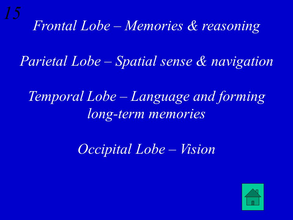14 What are the four lobes of the cerebrum and their functions