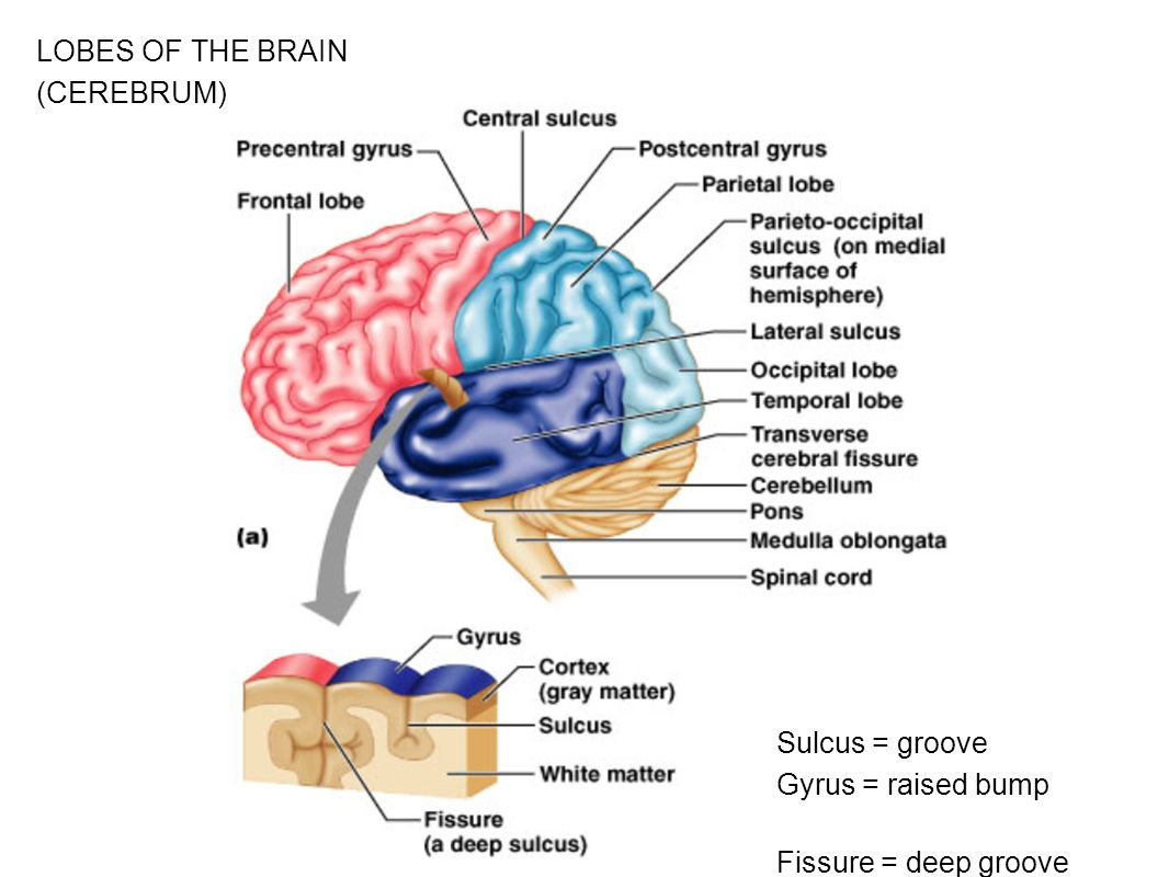 Figure 13.7a LOBES OF THE BRAIN (CEREBRUM) Sulcus = groove Gyrus = raised bump Fissure = deep groove