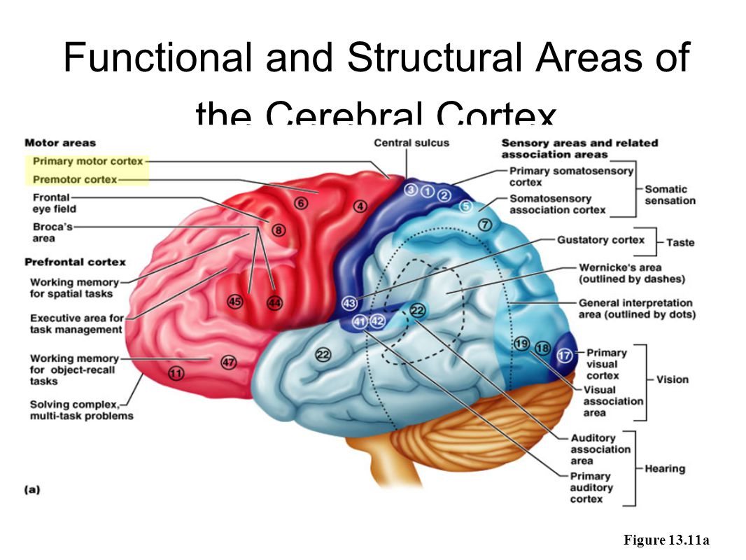 Functional and Structural Areas of the Cerebral Cortex Figure 13.11a
