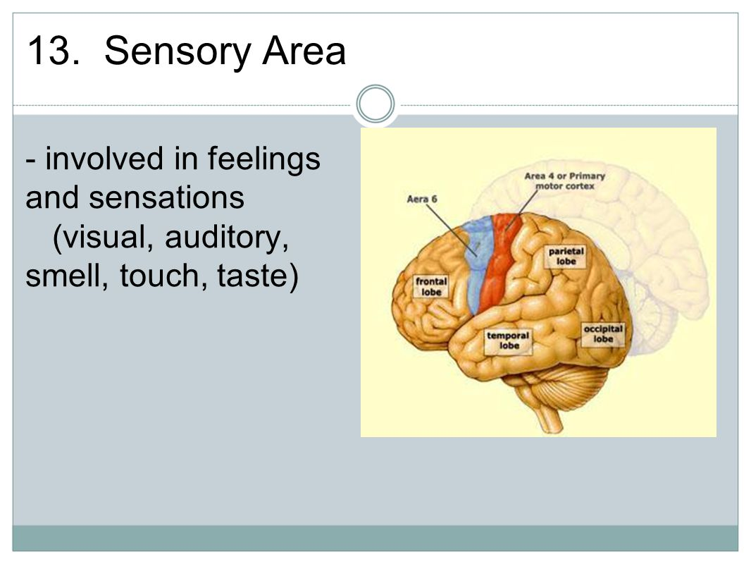 13. Sensory Area - involved in feelings and sensations (visual, auditory, smell, touch, taste)