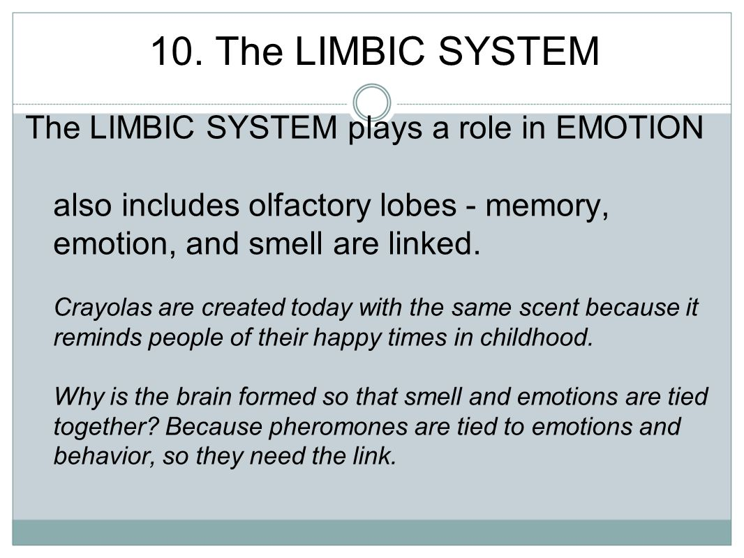 10. The LIMBIC SYSTEM The LIMBIC SYSTEM plays a role in EMOTION also includes olfactory lobes - memory, emotion, and smell are linked. Crayolas are cr