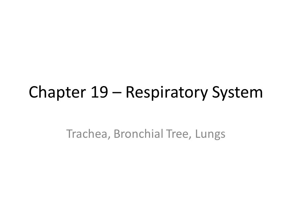 Chapter 19 – Respiratory System Trachea, Bronchial Tree, Lungs