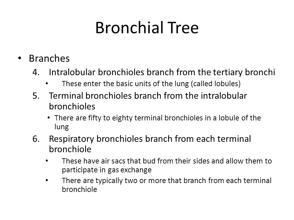 Bronchial Tree Branches 4.Intralobular bronchioles branch from the tertiary bronchi These enter the basic units of the lung (called lobules) 5.Termina